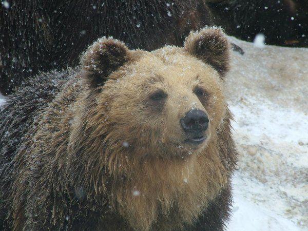 Ussuri bear